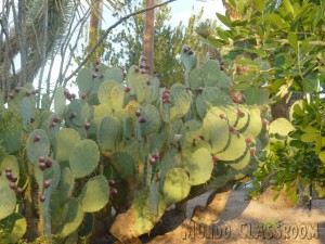 image: Prickly Pear